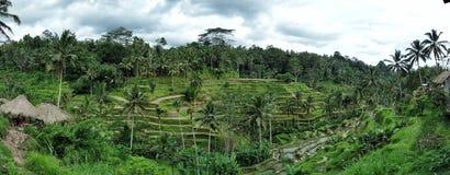 稻田在巴厘岛,印度尼西亚 免版税库存图片
