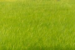 稻田有豪华的绿色背景 免版税库存图片