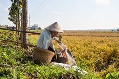 稻田的老农夫 免版税库存照片