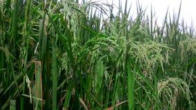 稻田米不同的看法种田与射击的关闭 股票录像