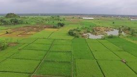 稻田美好的天线/寄生虫视图在slawi城市印度尼西亚 股票视频