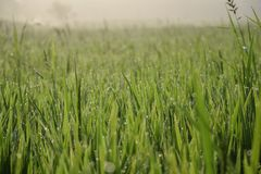 稻田背景|早晨|稻fild|背景|美丽|绿色 免版税库存照片