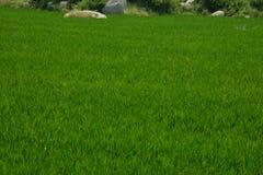 稻田,卡纳塔克邦,印度 免版税图库摄影