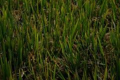 稻田,卡纳塔克邦,印度 库存图片
