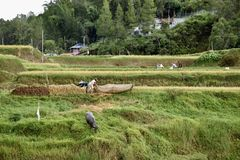 稻田-塔娜Toraja 免版税库存图片