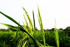稻的泰国茉莉花米的耳朵或耳朵在绿色看法的在晚上 库存图片