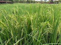 稻背景的耳朵 图库摄影