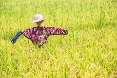 稻草人在泰国,在前景和背景的金黄模糊的米五谷的金黄米领域被设定了 库存照片