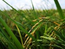 稻,在南部和亚洲东部也叫稻米,小,平实,洪水区域用于栽种的大米 图库摄影