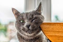 滑稽俄国的蓝色猫修饰了他的面颊 免版税库存图片
