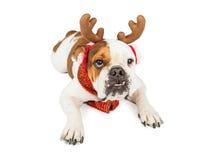 滑稽圣诞节驯鹿狗放置 库存图片