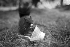 滑稽灰鼠吃 免版税库存照片