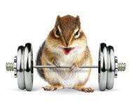 滑稽的与哑铃的健身动物花栗鼠在白色 库存图片