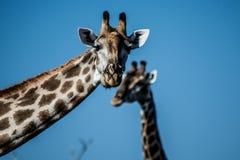 滑稽的两头长颈鹿 免版税库存图片