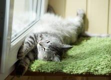 滑稽的休息的猫在阳台上在晴朗的热的夏日,困猫,在大阳台的幼小小猫,与开放眼睛的半困猫 库存图片