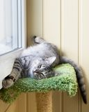 滑稽的休息的猫在阳台上在晴朗的热的夏日,困猫,在大阳台的幼小小猫,与开放眼睛的半困猫 图库摄影