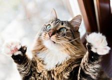 滑稽的猫举爪子  库存图片