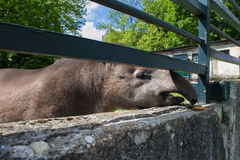 滑稽的友好的巴西貘 库存图片