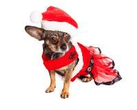 滑稽的圣诞节奇瓦瓦狗狗 库存图片
