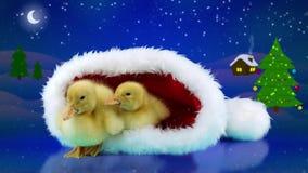 滑稽的圣诞节放松在圣诞老人帽子的两只新出生的矮小的黄色鸭子 股票录像