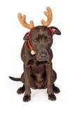 滑稽的圣诞节驯鹿拉布拉多狗 图库摄影