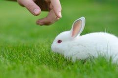 滑稽的在一个人的草和手的婴孩白色兔子 库存照片
