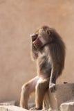 滑稽的坐的hamadryas狒狒 免版税库存图片
