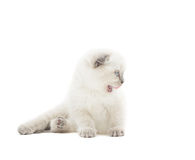 滑稽的垂耳英国小猫 库存照片