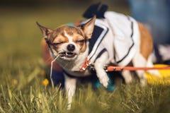 滑稽的奇瓦瓦狗喜欢嚼夏天草 晴朗的日 免版税库存图片
