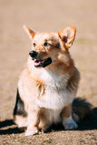 滑稽的威尔士小狗狗坐室外 图库摄影