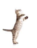 滑稽的嬉戏的猫身分 免版税库存图片