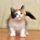 滑稽的嬉戏的蓬松小猫 免版税库存图片