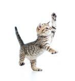 滑稽的嬉戏的婴孩苏格兰英国小猫 免版税图库摄影
