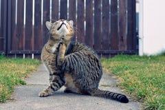 滑稽的家猫 免版税图库摄影