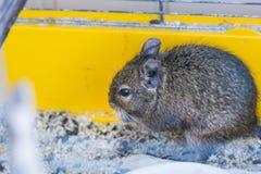 滑稽的家养的degu灰鼠在他的房子里 免版税图库摄影