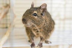 滑稽的家养的degu灰鼠在他的房子里 库存照片