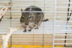 滑稽的家养的degu灰鼠在他的房子里 免版税库存照片