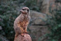 滑稽的小动物坐石头在动物园在莱比锡,德国 2013年1月5日 免版税库存图片
