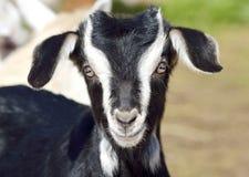 滑稽的小山羊画象 免版税库存图片