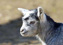 滑稽的小山羊画象 库存照片