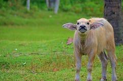 滑稽的小牛 免版税库存照片