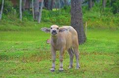 滑稽的小牛 库存照片