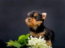 滑稽的小犬座约克夏狗小狗 库存照片