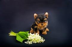 滑稽的小犬座约克夏狗小狗 库存图片