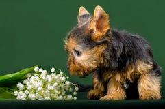 滑稽的小犬座约克夏狗小狗 免版税库存照片