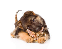 滑稽的小狗叮咬小猫 背景查出的白色 免版税库存照片