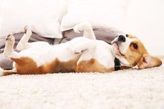 滑稽的小猎犬在家 在地毯的狗谎言在它的后面 图库摄影