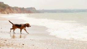 滑稽的小猎犬小狗要游泳,但是害怕波浪 股票录像