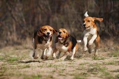 滑稽的小猎犬狗赛跑 图库摄影