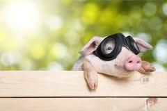 滑稽的小猪 库存照片